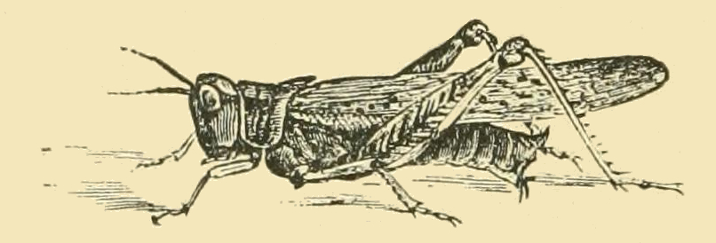line drawing of a grasshopper