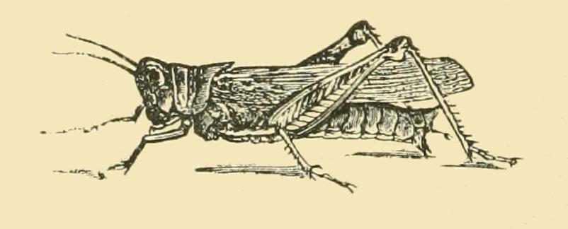 vintage grasshopper drawing