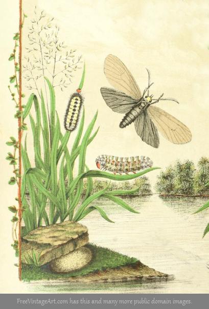 brown moth life cycle drawing