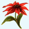 poinsettia-featured