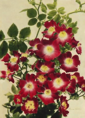 Climbing Rose Picture Free Vintage Art