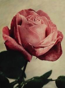 pink-rose4