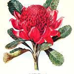 waratah-flower