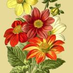 single-dahlia-1896