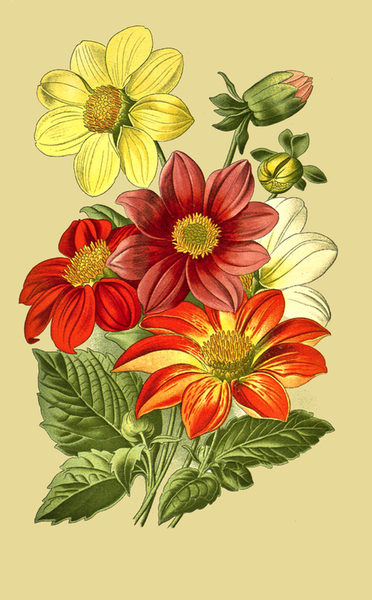 dahlia flowers drawing