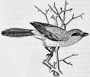 shrike-drawing