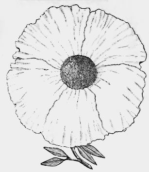 California Poppy Drawing