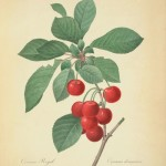 cherries-redoute