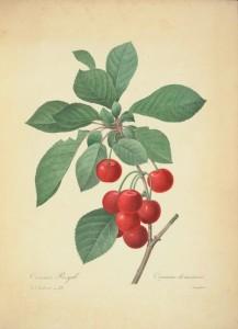 cherries-redoute