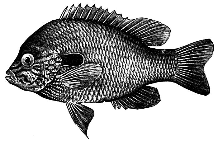 long-eared-sunfish