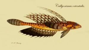 Callyonimus orientalis