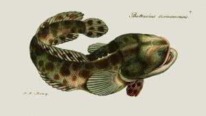 batrachus-surinamensis