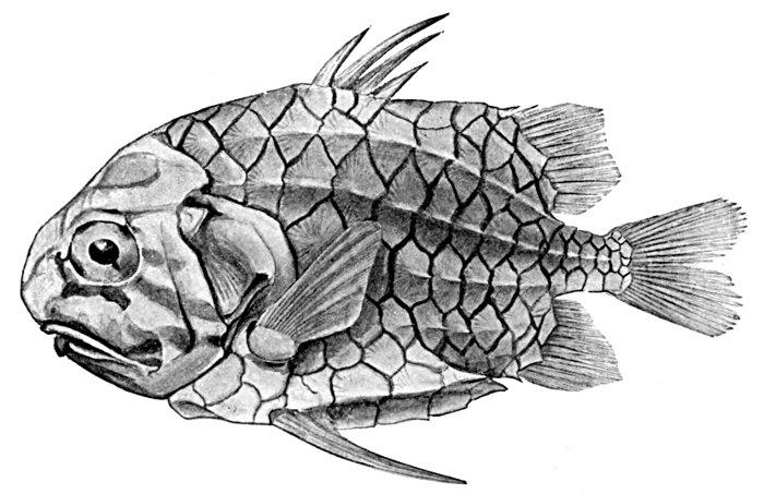 pine cone fish drawing