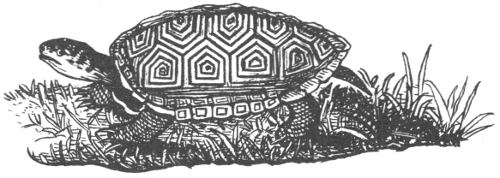 Diamondback terrapin drawing by Robert E. Lee.
