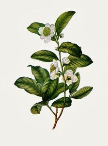 camellia-thea