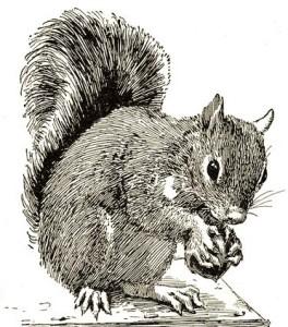 squirrel-horsfal