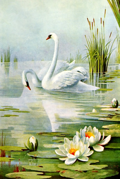 swan pair drawing with water lilies
