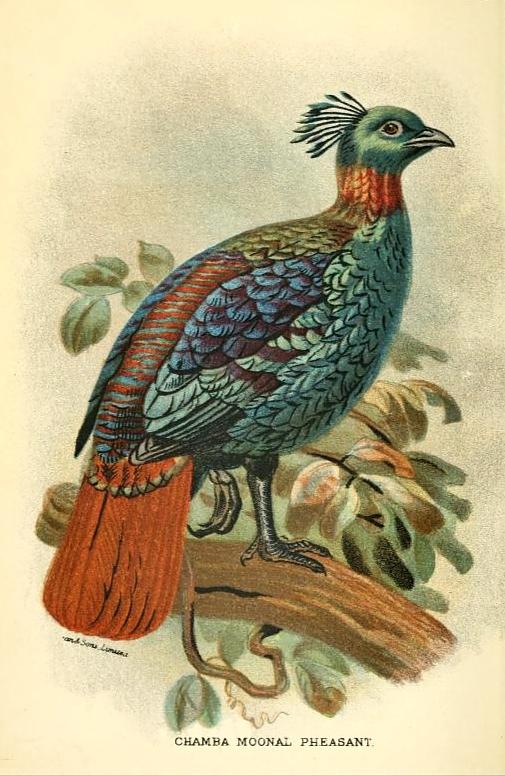 chamba moonal pheasant