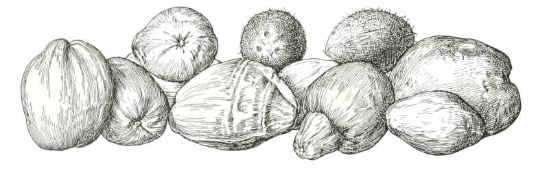 coconuts drawing