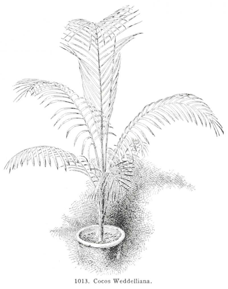 Cocos Weddlliana