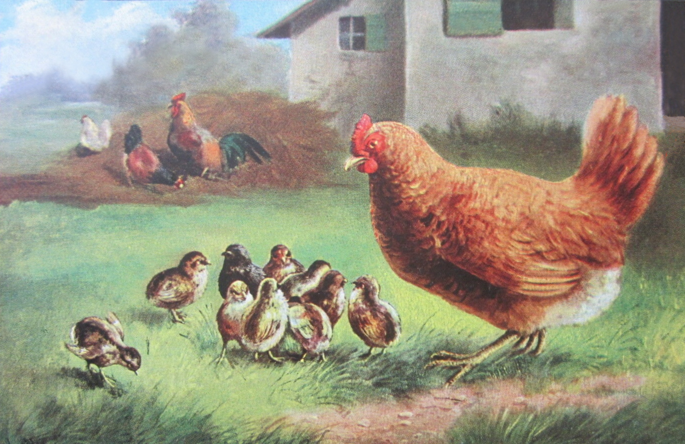 vintage barnyard chickens drawing
